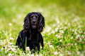 Black english springer spaniel playing clover field Stock Image