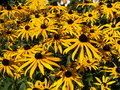 Black-eyed Susan Stockbilder