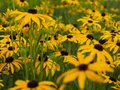 Black-eyed susan bed of flowers Royalty Free Stock Photo