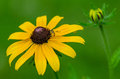 Black eyed susan and bee a with with new growth in background Stock Photo