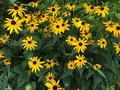 Black eyed susan bright yellow s bunched together in garden Stock Photos