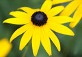 Black Eyed Susan close up Royalty Free Stock Photo