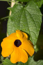 Black eyed susan closeup Royalty Free Stock Photo