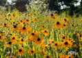 Black Eyed Susan field Royalty Free Stock Photo