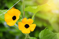 Black-eyed susan in field plant. Royalty Free Stock Photo
