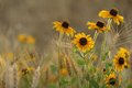 Black Eyed Susan in field. Royalty Free Stock Photo