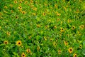 Black eyed Susan flower field Royalty Free Stock Photo