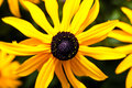 Black Eyed Susan Flower Macro Royalty Free Stock Image