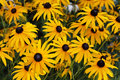 Black eyed susan flowers Stock Images
