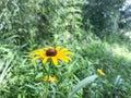 Black-eyed Susan. Field. Summer. Royalty Free Stock Photo