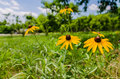 Black-Eyed Susan Flowers in a field of Apple and Peach Trees Royalty Free Stock Photo
