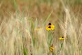 Black Eyed Susan in grassy wheat field. Royalty Free Stock Photo