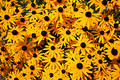 Black Eyed Susan Patch Stock Photo