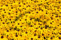 Black eyed susan plants Royalty Free Stock Photo