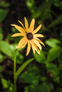 Black-Eyed Susan in the Rockies Royalty Free Stock Photo