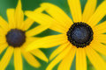 Black eyed susan selective focus shallow depth of field close up of susans Stock Photos