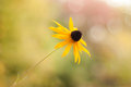 Black-Eyed Susan Soft and Shallow - Side View Royalty Free Stock Photo