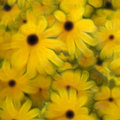 Black Eyed Susans Stock Image
