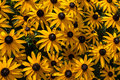 Black-Eyed Susans Stock Images
