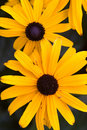 Black eyed susans. Royalty Free Stock Photos
