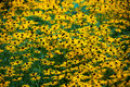 Black eyed susans field of susan flowers in a summer garden Stock Image