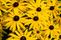 Black-eyed-susans floqwers in summer garden Royalty Free Stock Photo