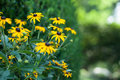 Black eyed susans in the garden Stock Photography