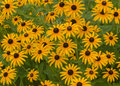 Black eyed susans a garden display of yellow and brown susan s Royalty Free Stock Photography