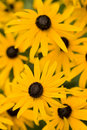 Black eyed susans patch Stock Images