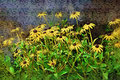 Black-Eyed Susans - Perfect for Cards Stock Photography