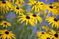 Black eyed susans rudbeckia hirta a patch of in a garden Stock Photo