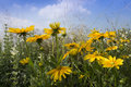 Black-eyed-susans in the sun Royalty Free Stock Photo