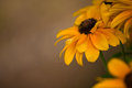 Black-eyed Susans Royalty Free Stock Photo