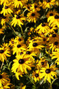 Black Eyes Susan's Flowers Royalty Free Stock Photography