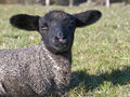 Black Faced Baby Lamb Royalty Free Stock Photography