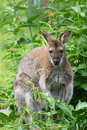 Black-faced kangaroo Royalty Free Stock Photos