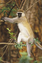Black-faced Vervet Monkey Stock Photo