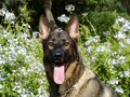 Black and Fawn Belgian Malinois in Front of White Flowering Green Plant Royalty Free Stock Images