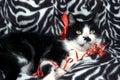Black feline white 免版税库存照片