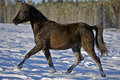 Black filly running on snow arabian trotting in profile Royalty Free Stock Photo