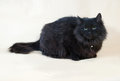 Black fluffy cat with collar sits on yellow background Royalty Free Stock Photography