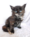 Black  fluffy kitten Royalty Free Stock Photo
