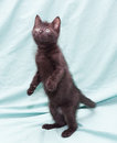 Black fluffy kitten with green eyes standing on his hind legs pale background Stock Photos
