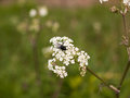 A black fly resting on some cow parsley Royalty Free Stock Photo