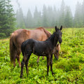 Black foal and horse Royalty Free Stock Photo