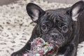 Black french bulldog chewing dog toy. Lies on the sofa Royalty Free Stock Photo