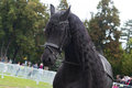 Black friesian horse on equestrian show, head face detail Royalty Free Stock Photo