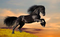 Black Friesian Horse Gallops O...