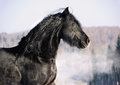 Black friesian horse portrait in gallop Royalty Free Stock Photos