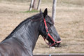 Black friesian horse running as training Royalty Free Stock Images